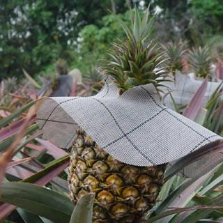 以披肩的方式做為防曬的鳳梨(5-2)
