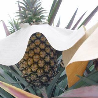 以披肩的方式做為防曬的鳳梨(5-3)