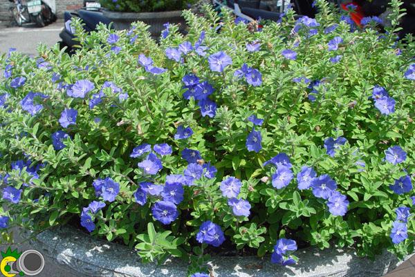 鳳梨頭攝影分享 ?藍星花